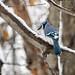 Blue Jay (Cyanocitta dristata)