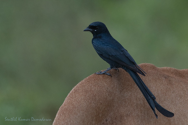 Black drongo (Dicrurus macrocercus), Nikon D500, Sigma Macro 50mm F2.8 EX DG
