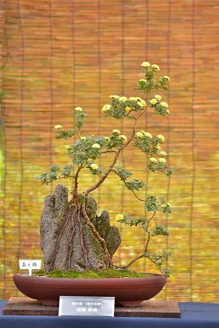 DSC_8866 菊の盆栽
