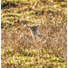 Fallow deer Female - doe / Dama dama - Taken at Bradgate Park Northwest of Leicester - UK