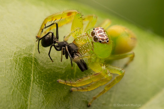 Green jumping spider with ant-mimic prey