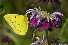 Orange Sulphur butterfly on a lemon beebalm flower