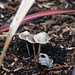 Autumn fungi: bonnet mycenae