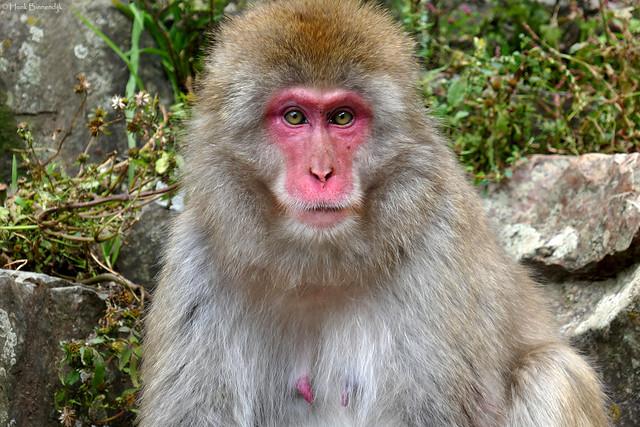 Japan Jigokudani Snow Monkey, Panasonic DMC-TZ100