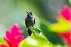 Belize, Hummingbird