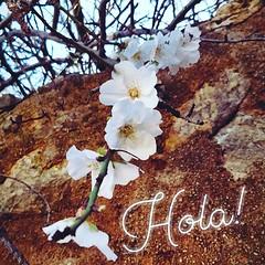 Hola :cherry_blossom: #ametlla #mandelblüte #almondblossom #flowerstagram #flowersofinstagram #mallorca #santanyi #mallorcagram #flowers #blütenzauber