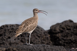 Whimbrel (Numenius phaeopus) | by Wildlife Photography by Matt Latham