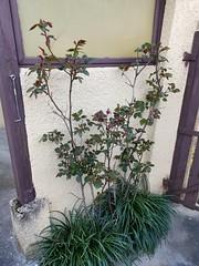 Rosier cherchant jolie rose... - Photo of Saint-Romain-de-Jalionas