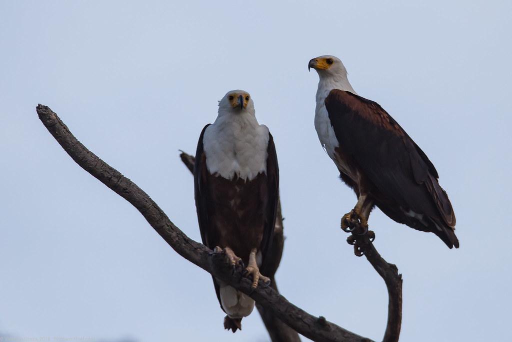 Lake_Naivasha_Kenya_sep18_07_vultur pescar