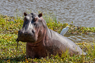 Hippo and cattle egret, Mana Pools National Park, Zimbabwe