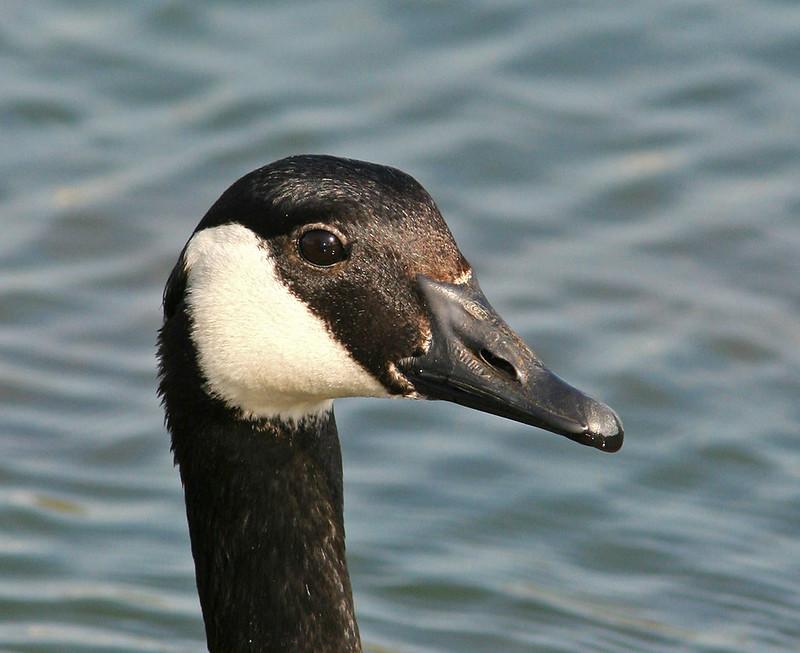 Canada Goose_5562