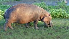 Hippo (Hippopotamus amphibius) grazing ...