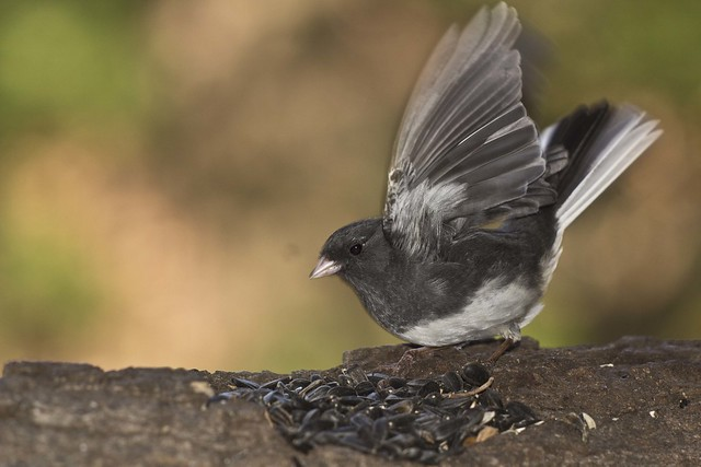 dark-eyed junco 1, Canon EOS REBEL T5I, Canon EF 100mm f/2.8L Macro IS USM