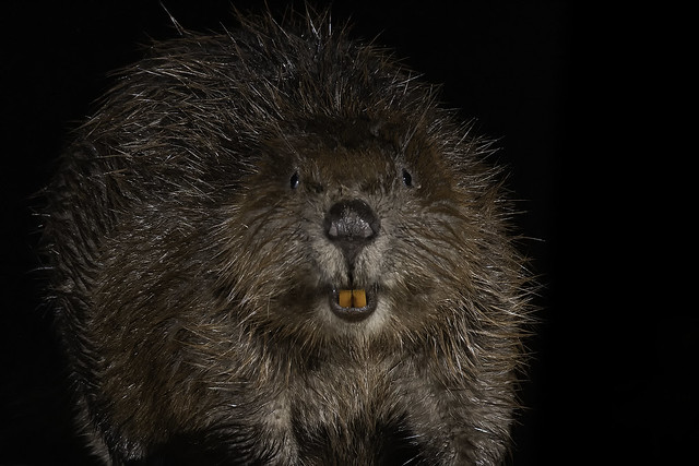 Beaver head on in Explore 29/01/19