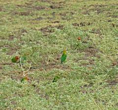 lillian's lovebirds; s luangwa natl prk