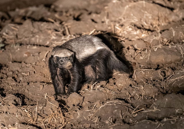 Honey Badger, Nikon D500, AF-S Nikkor 300mm f/4E PF ED VR