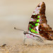 Tailed Jay - Graphium agamemnon menides by Ishmaanay