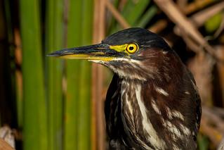 Green Heron (Quinta do Lago)