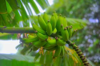 Banana Anyone