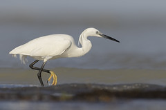 Egretta garzetta al mare