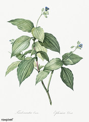 Tradescantia erecta illustration from Les liliacées (1805) by Pierre Joseph Redouté (1759-1840). Digitally enhanced by rawpixel.