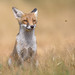 Red Fox (Vulpes vulpes) by benstaceyphotography