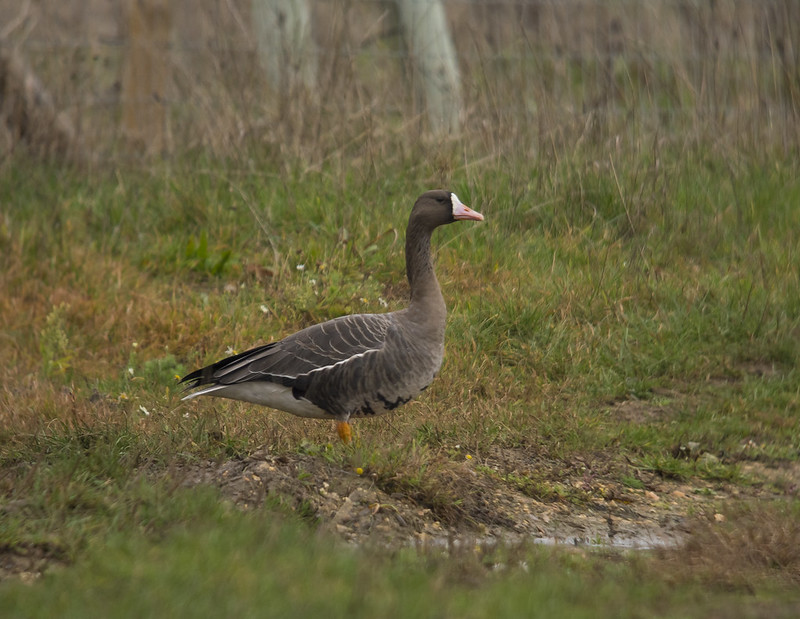 White-fronted Goose, Broom GP, 14th Dec 2018