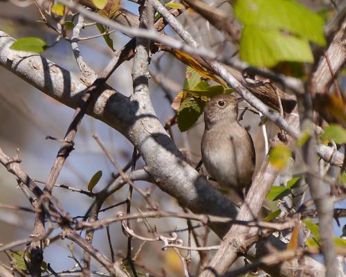 mikaelbehrens bird texas corpuschristi wildlife cbc robstown unitedstates us