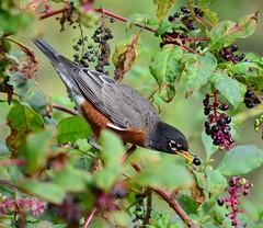 One Hungry Robin, Montgomery County, PA USA