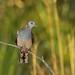 Bar-Shouldered Dove by david marle