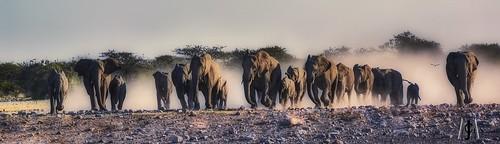Charge!  Elephants rush to claim their Etosha waterhole