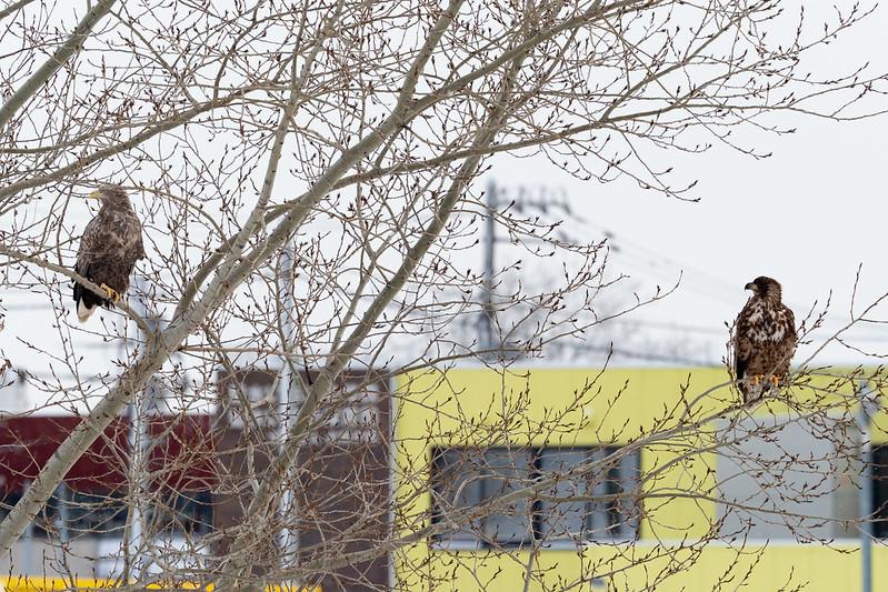 札幌市豊平川河川敷のオジロワシ成長と幼鳥