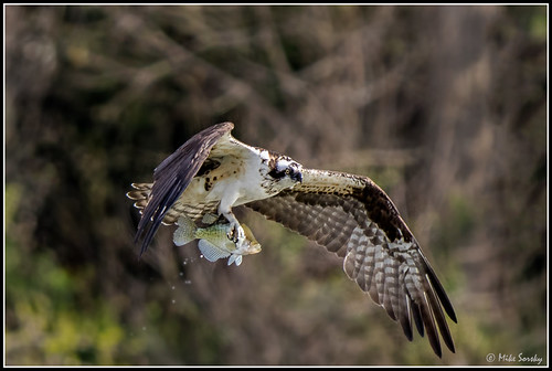 18-1792_osprey_with_crappie | by michaelsorsky