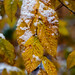 Snow on beech leaves