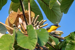 Yellow-throated Euphonia with a Snack