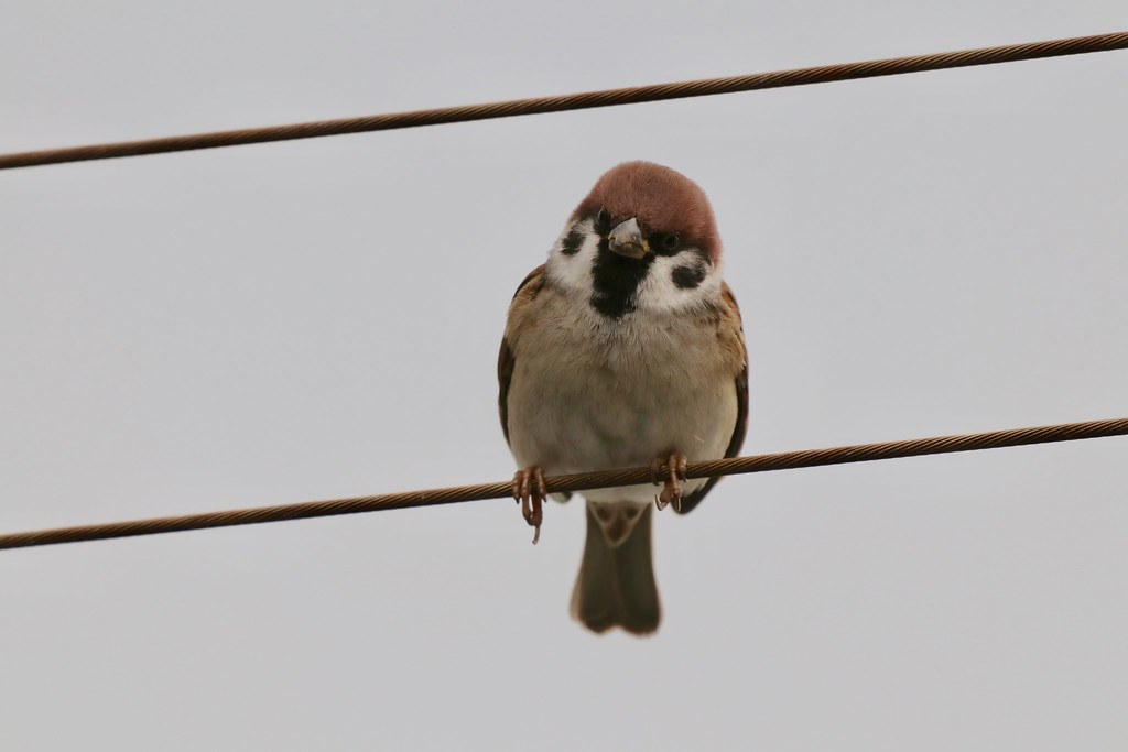 Sparrow(スズメ)| 2018.12.8