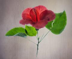 hibiscus2-texture
