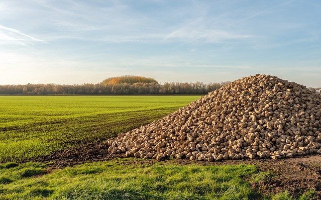 Large heap of harvested sugar beets waiting for transport to the sugar factory