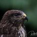 Portrait of a Common Buzzard! by Jambo53 ()