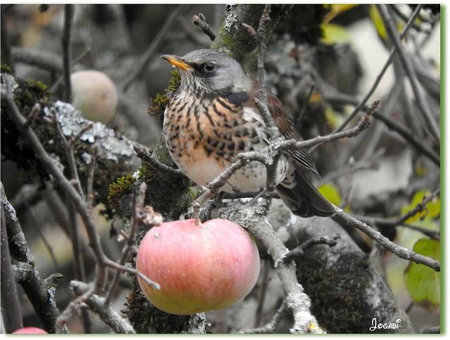 L'oiseau et la pomme, Nikon COOLPIX P610