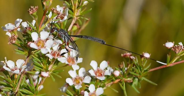 Gasteruptiid Wasp Denmark 22Dec18, Nikon D7100, Sigma APO Macro 150mm F2.8 EX DG OS HSM