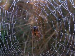 20080902 29351 1003 Jakobus Spinnenwebe Wasser Perlen