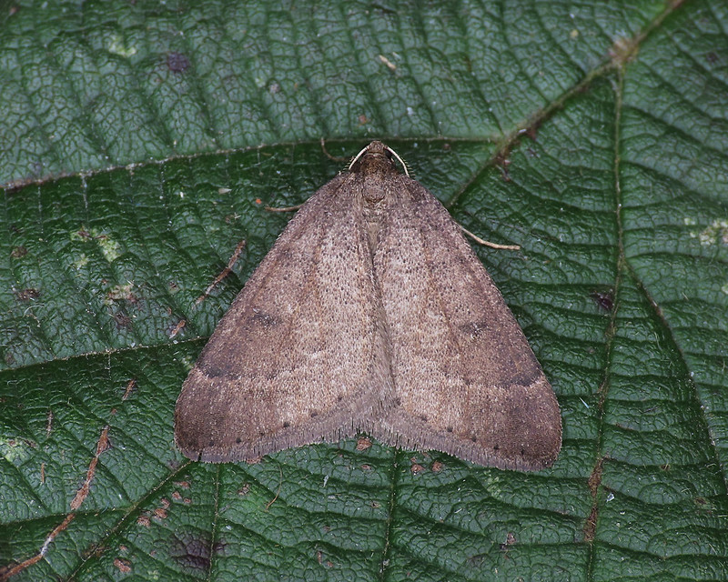 70.282 Early Moth - Theria primaria