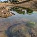Ambystoma mavortium stebbinsi (Sonoran tiger salamander) by wyman.jules