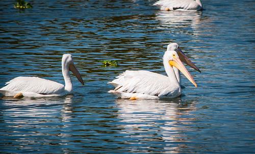 Pelicans on LSU Lakes