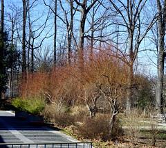 Arboretum in winter: Intro Garden North Court willow border, US National Arboretum, Washington, DC