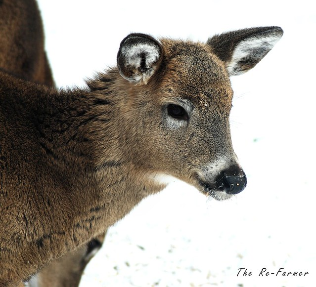 2019-01.two.white.tail.deer.2