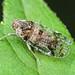 Cixiid Planthopper - Cixius nervosus (Cixiidae, Cixiinae, Cixiini) 118z-7156330