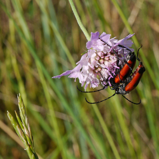 Longhorn beetles (Stictoleptura cordigera) on small scabious (Scabiosa columbaria), Les Pontils