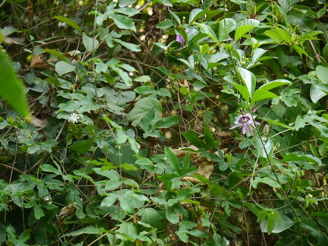 Passiflora x violacea Loiseleur-Deslongchamps, Panasonic DMC-G5, LEICA DG MACRO-ELMARIT 45mm F2.8